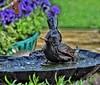 Having a splash of a time!😁 (LeanneHall3 :-)) Tags: starling bird brown feathers splash water birdbath garden hull kingstonuponhull canon 1300d