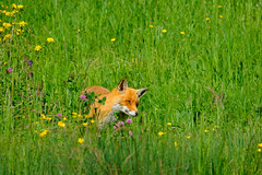 Animal Beauties - The Fox (#3#) (ej - light spectrum) Tags: fox fuchs redfox animal tier meadow wiese frühling spring fujifilm xt2 fujinon xf100400mmf4556 schweiz switzerland nature natur clever smart mai may 2018 portrait porträt suisse svizzera gras feld blumen field wildnature