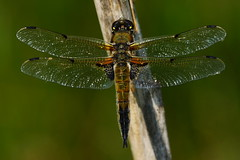 DSC09553 - Four spotted Chaser (steve R J) Tags: four spotted chaser sth hanningfield reservoir ewt reserve essex dragonfly odonata british