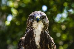 Buzzard (R.J.Boyd) Tags: buzzard bird prey gauntlet knutsford cheshire raptor avian hunter animal wildlife feathers beak eyes flying portrait