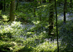 N2096 (cleigh01) Tags: bluebells woodland blue ferns trees green