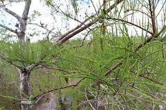 Everglades National Park, Florida (lotosleo) Tags: baldcypress taxodiumdistichuml evergladesnationalpark florida fl nationalpark everglades swamp marsh nature plant spring landscape tree reflection эверглейдс флорида green