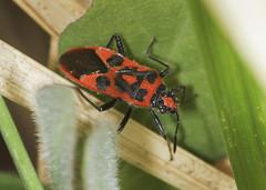 Rhopalid Bug - Corizus hyoscyami (Prank F) Tags: naturalengland monkswood nnr sawtry cambsuk insect macro closeup bug rhopalid corizushyoscyami