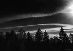 Morning Sky  8:23 a.m. (Joan Gray) Tags: morningwalk morninglight bw blackandwhite firtrees contrails