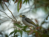 Noisy Minor feed time #2 (Beckett_1066) Tags: birds minor gumtree