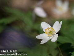 Wood anemone-2 (Neil Phillips) Tags: anemonenemorosa wildflowers woodanemone floor forest plant smellfox thimbleweed white windflower woodland