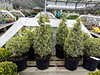 Variegated Box plants (wallygrom) Tags: england westsussex angmering haskins