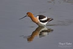 American Avocet on a pond (TonysTakes) Tags: bird wildlife colorado coloradowildlife firestone americanavocet avocet
