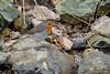 European Robin (fascinationwildlife) Tags: animal bird birding songbird european robin rotkehlchen rock stone vogel singvogel deutschland germany wild wildlife spring nature natur schwäbisch gmünd baden württemberg creek