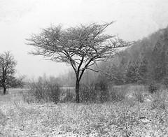 (babireley) Tags: pentax67 pentax67smc105mmf24 berggerpancro400 pawilds pottercounty pa pottercountypa trees springsnow thedarkroomlab