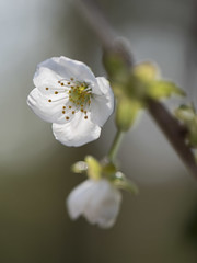 Les joies du printemps (Titole) Tags: bloomingtree blooming titole nicolefaton stamen white shallowdof