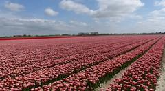 Foto Roel van Deursen Bollenpracht Goeree Overflakkee - Oude Tonge 2018-04-23 (2) (Roel van Deursen) Tags: tulpen vol bloei op goereeoverflakkee 2018