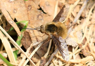 greater bee fly (Bombylius major) at Lake Meyer Park IA 854A4591