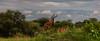 Impala (David Ruiz Luna) Tags: impala antelope antílope africa landscape paisaje escenario outdoors green verde tarangirenationalpark nationalpark tanzania manyararegion tarangireriver ecosystem ecosistema wilderness nature naturephotography nikon nikond750 fullframe photography fotografía unitedrepublicoftanzania safari naturaleza turismo travel trip touraroundtheworld viajar naturelover beautyinnature beauty belleza scenic mbugwe aepycerosmelampus