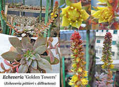 Echeveria 'Golden Tower' (collage) (Succulents Love by Pasquale Ruocco (Stabiae)) Tags: echeveria goldentower collage pittieri diffractens ibrido hybrid cactusco cactusworld pasqualeruocco piantegrasse piantagrassa plantesgrasses plantassuculentas stabiae succulentslove succulents succulent succulente succulenta succulentas sukkulenten crassulaceae forumcactusco dkg kuas fgas avonia cactusadventures cssa bcss flower flowers flowering cssajournal