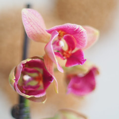 Soft Nature (Francisco (PortoPortugal)) Tags: 0922018 20180416foli0120 flor flower orquídea orchid suave soft natureza nature porto portugal portografiaassociaçãofotográficadoporto franciscooliveira quadrada square