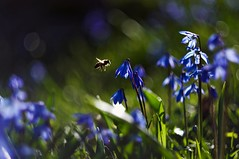 Welcome spring and welcome Helios 44-2 58mm F/2 (Stefano Rugolo) Tags: stefanorugolo pentax k5 pentaxk5 helios44258mmf2 ricohimaging spring bee flowers bokeh welcome nature sweden hälsingland primelens vintagelens manualfocus scilla