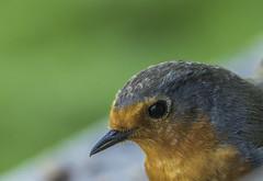 Robin Up Close (Mal.Durbin Photography) Tags: forestfarm maldurbin wildlifephotography wildlife birds