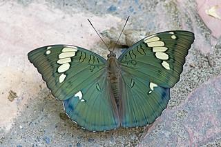 Euthalia patala - the Grand Duchess (male)