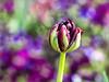 Tulipan (Silke Klimesch) Tags: 7dwf flora berlin britzergarten britz tulipan tulip colourful bokeh spring blossom bud flower purple green white pink tulpe tulipe tulipă lalea tulppaani tulpan tulipano tulipán tulipa lale тюльпа́н 郁金香 blume blüte fleur flor fiore kukka kwiat λουλούδι çiçek цвето́к 花朵 olympus omd em5 mzuikodigitaled60mm128macro microfourthirds on1photoraw2018 nik viveza macromademoiselle macroflowers smileonsaturday catchthebokeh hsos