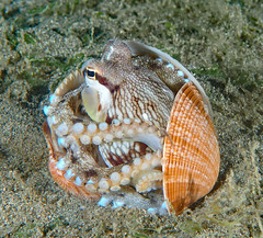 Coconut Octopus (oceanzam) Tags: octopus scuba diving muck animal nature night philippines ocean sea travel water underwater dark shell beach pier