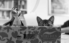 Tonino (Augusto Gasbarri) Tags: tonino gatto cat tigrato tigre tigretto tiger 3mesi cucciolo adoxsilvermax100 adox silvermax 100asa 100 asa film scan scanner 35mm analog analogica fotografia fotografiaanalogica pellicola homedeveloped nikonfe2 nikon fe2 nikkor nikkor50 nikkor105mm 105mm 50mm nikkor50mm gattino kitten portrait emotiveportraiture buyfilmnotmegapixels buyfilmsnotmegapixels analogphotography filmphotography filmisnotdead