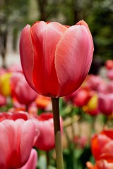 Tall tulip. (bkkay1) Tags:
