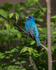 Indigo Bunting (Matt Shellenberg) Tags: bird birds indigo bunting indigobunting missouri busiek state forest nature wildlife animal matt shellenberg blue