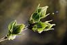 Lilas '18 ... ( P-A) Tags: agréable arbustes beau chaleur nouvellespousses printemps soleil lilas feuilles tendres fragiles feutrées photos simpa©