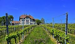 Domaine des Abbesses (Diegojack) Tags: echandens vaud suisse d7200 paysages vignes abbesses ceps renouveau printemps perspective