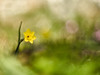 Narcissus rupicola (luisotespi68) Tags: narcisos narcissus narcissusrupicola daffodils flores flora floraiberica flowersphotography naturaleza naturephotography olympus olympuspen olympuspenf bokeh bokehphotography desenfoque fondo fotografiadeaproximacion macro macrophotography