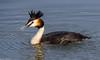 Nederland, Fuut, 08-04-2018 Wilgenwende Dordrechtv13 (1 van 1) (michel.kapoen1) Tags: fuut vogels birds nederland biesbosch dordrecht
