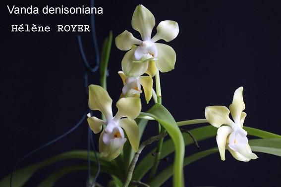 vanda_denisoniana-small