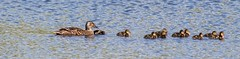 Duck with her ducklings (MDK-Photography) Tags: water duck ducks mallard ducklings babies baby eggs egg hatched spring season nature photography canon dslr naturephotography canonphotography canondslr birds wildlifephotography wildlife ngc river pond lake bird animal
