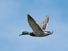 Rainham flying Mallard Drake
