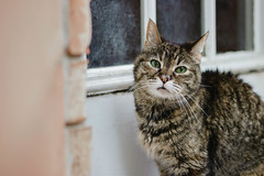 On the Outside (Olizwell) Tags: gracie cat tabby greeneyes old