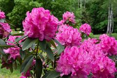 Rhododendron (bakosgabor57) Tags: flower pink park arboretum d7200 drops colors dslr forest garden nikon light green threes