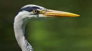 Bird portrait : a Heron