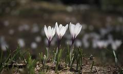 crocus (bulbocode909) Tags: valais suisse ovronnaz crocus fleurs pâturages printemps nature montagnes vert