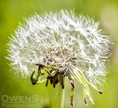 Dandelion wm (OwenSPhotography) Tags: flower seed seeds danelion dandelion macro bokeh white green nature floral flora