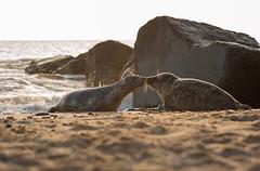 SealKiss (himbammargera) Tags: seal greyseal kiss nikon d700 10525ai