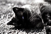 Padrone del Borgo (thomas.amicabile) Tags: gatto cat animals animali fauna felino felini bianco nero bianconero contrasti