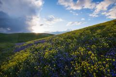 Purple and Gold (jojo (imagesofdream)) Tags: kern county wildflowers california springbloom flowers