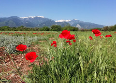 Greece (denismartin) Tags: greece europe tree flower spring poppy poppies rural rurality field cloud sky nature panorama mountains mountain colors colorsoftheworld colorandcolors red macedonia μακεδονία makedonía mountolympus travel trail travelphotography weather fleur bloom seeninmacedoniatimelessgroup