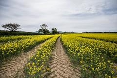Oilseed Rape. Rain needed (Antony Fleming) Tags: oilseedrape crops farming arable northyorkshiremoors tractor tyre soil yellow