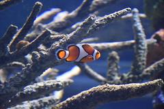 Clownfish (Adventurer Dustin Holmes) Tags: 2018 wondersofwildlife nemo clownfish fish saltwater amphiprioninae anemonefishanimalia chordata actinopterygii perciformes pomacentridae tropical corral aquarium