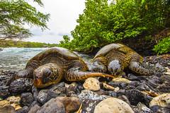 turtle3Mar31-18 (divindk) Tags: cheloniamydas hawaii hawaiianislands makenabeach makenalanding maui beach diverdoug endangeredspecies greenseaturtle marine ocean sea seaturtle turtle