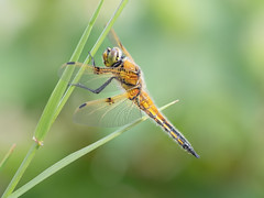 Four-spotted chaser (Libellula quadrimaculata) (gerry_me) Tags: dragonfly four spotted chaser insect macro closeup libellula quadrimaculata