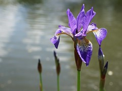 irises in the pond in the Master's Garden (quietpurplehaze07) Tags: st cross hospital almshouse noble poverty iris pond blue sunlight mastersgarden stcross