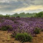 dreamy lavender fields thumbnail